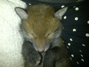 """Cookie"" a vixen cub found in a Baker's store room. She was successfully rehabilitated into the wild,"